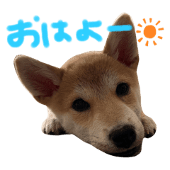 """柴犬レオンくん""""2"""""""