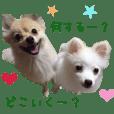 Real DOG Pomeranian Pomekiti & Yukiti