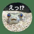 淡水フグのポコちゃん