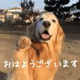 ゴールデンレトリバー・悠鼓