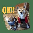 柴犬 シーザーとエリちゃん