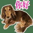 sooo pretty dachshunds Chinese Ver.