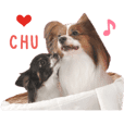 Real DOG Papillon & Chihuahua2