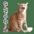 茶トラ猫ガットくん2