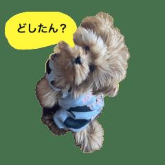 まるぷー(マルチーズ×トイプードル)長男