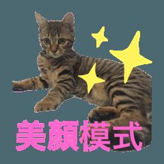 可愛虎斑貓wemo