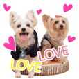 very cute yorkies