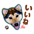Shiba-Inu Shintaro Always together