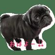 love pug love 3