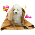 bolognese  toypoodle