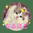 幸せの白猫アーニャ、お洒落なサイベリアン