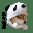 柴犬キバ蔵