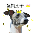 AJ,SIOGAO prince of Italian greyhound