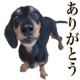 Pretty doxie sticker!