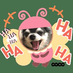 ミスチワワのCOCO Part2