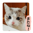 "A cute cat ""Daifuku-chan"""