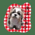 シーズーぴぃちちゃん②