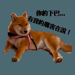 我是一隻柴犬 我很煎所以名為蚵仔煎-煎煎。