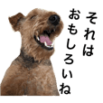 welshterrier  komugi  2