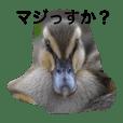 Baby Ducks (2)