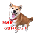 Awa dialect of the Japanese midget Shiba