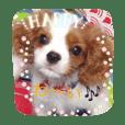 キャバリア赤ちゃん犬part2