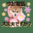 ポメラニアンDuffy黒と赤 敬語編その13