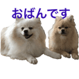 pomeranian Leo and max7 Hokkaido dialect