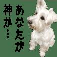 Jun(White Schnauzer)