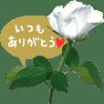 バラの写真(白)