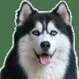 Siberian dog2