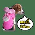 beagle thungtong