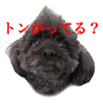 Black toy poodle Kokomi's Sticker