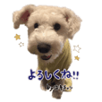 Miniature Schnauzer Yuki chan