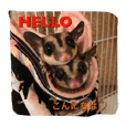 I love you very much sugar glider
