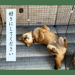 柴犬 葵&柚子のスタンプ