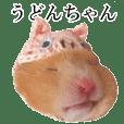 golden hamster 'Udonchan'