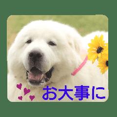グレートピレニーズの里桜とお花たち②