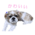 Shih Tzu dog's March