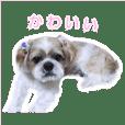 シーズー 愛犬の「マーチ」