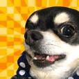 """Chihuahua """"SETSU"""" Sticker2"""