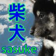 sasuke (shibadog)