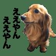 ドッグ ダックスフンド 犬