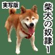 Real Shiba inu stickers
