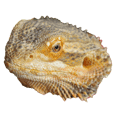 Bearded Dragon Stamp