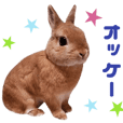 Real Rabbit - COCO -