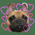 Frenchbulldog   musashisan