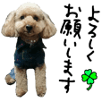 toy poodle 38
