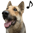 German Shepherd Dog sticker(Chinese ver)