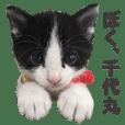 Cat chiyomaru